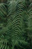 Hoja de Œlush del ¼ del leavesï del helecho en bosque imágenes de archivo libres de regalías