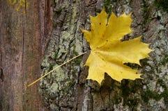 Hoja de arce amarilla Foto de archivo