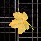 Hoja de arce amarilla Imagen de archivo libre de regalías