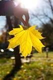 Hoja de arce amarilla Fotografía de archivo libre de regalías