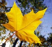 Hoja de arce amarilla bajo opinión del sol de abajo Imagen de archivo libre de regalías