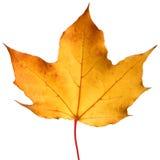Hoja de arce amarilla del otoño Imagen de archivo libre de regalías
