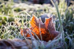 Hoja de arce amarilla en hierba verde bajo helada del otoño Fotos de archivo