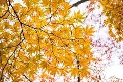 Hoja de arce amarilla en la estación del otoño Fotos de archivo