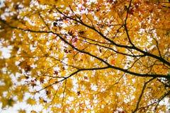 Hoja de arce amarilla en la estación del otoño Imagen de archivo libre de regalías