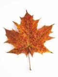 Hoja de arce anaranjada Foto de archivo libre de regalías