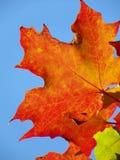 Hoja de arce anaranjada del otoño contra el cielo azul Foto de archivo libre de regalías
