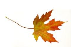 Hoja de arce anaranjada en blanco Foto de archivo libre de regalías
