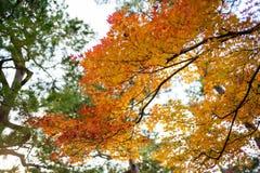 Hoja de arce anaranjada en la estación del otoño Foto de archivo libre de regalías