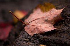 Hoja de arce caida de árbol Fotos de archivo libres de regalías