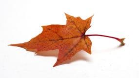 Hoja de arce coloreada en el fondo/la hoja de arce blancos Foto de archivo libre de regalías