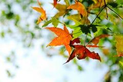 Hoja de arce colorida del otoño Fotografía de archivo