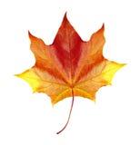Hoja de arce colorida del otoño aislada en blanco Imagen de archivo
