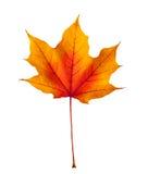 Hoja de arce colorida del otoño aislada en blanco Imágenes de archivo libres de regalías