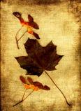 Hoja de arce con las frutas Imagen de archivo libre de regalías