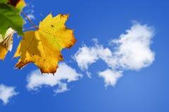 Hoja de arce de oro contra un cielo azul soleado con las nubes blancas Fotografía de archivo
