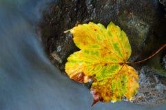 Hoja de arce del amarillo del otoño del vintage imagen de archivo libre de regalías