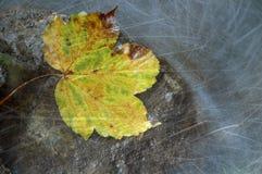 Hoja de arce del amarillo del otoño del vintage Imagen de archivo