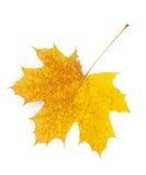 Hoja de arce del otoño Imagen de archivo libre de regalías