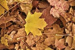 Hoja de arce del otoño Foto de archivo