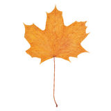 Hoja de arce del otoño aislada en el fondo blanco Foto de archivo
