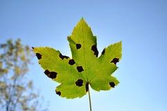 Hoja de arce del otoño contra el cielo azul Imagen de archivo libre de regalías