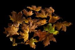 Hoja de arce del otoño del oro aislada en fondo negro Foto de archivo libre de regalías