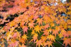 Hoja de arce en Autumn Season Imágenes de archivo libres de regalías