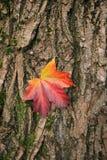 Hoja de arce en el fondo del tronco de árbol Imagen de archivo