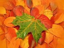 Hoja de arce en las hojas rojas Fotos de archivo