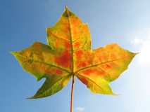 Hoja de arce en otoño foto de archivo