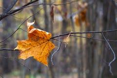 Hoja de arce en una rama, fondo natural del otoño imágenes de archivo libres de regalías