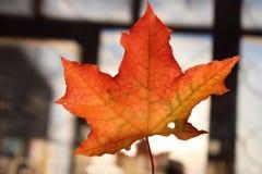 Hoja de arce hermosa del otoño Colores de colores fotos de archivo