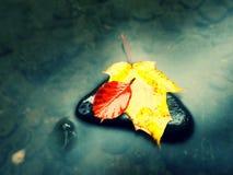 Hoja de arce punteada amarillo-naranja putrefacta en la agua fría de la corriente de la montaña Foto de archivo libre de regalías