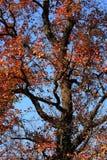 Hoja de arce roja foto de archivo libre de regalías