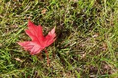 Hoja de arce roja brillante del otoño en la hierba Fotos de archivo libres de regalías
