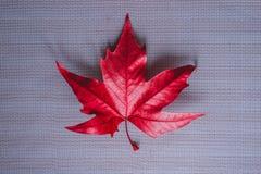 Hoja de arce roja brillante en un fondo gris fotos de archivo libres de regalías
