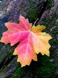 Hoja de arce roja del otoño en tocón de árbol cubierto de musgo Fotos de archivo libres de regalías