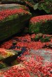 Hoja de arce roja durante caída Imagen de archivo