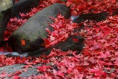 Hoja de arce roja durante caída Foto de archivo libre de regalías