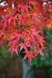 Hoja de arce roja en la estación del otoño Imagenes de archivo