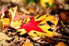 Hoja de arce roja y amarilla en las hojas secas Imagenes de archivo