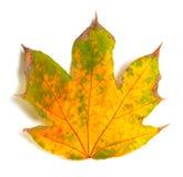 Hoja de arce seca del otoño Fotos de archivo libres de regalías