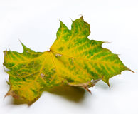 Hoja de arce seca verde Foto de archivo
