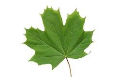 Hoja de arce verde. Imagen de archivo libre de regalías