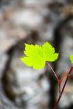 Hoja de arce verde Foto de archivo libre de regalías