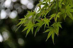 Hoja de arce verde Fotografía de archivo libre de regalías
