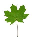 Hoja de arce verde aislada Imágenes de archivo libres de regalías