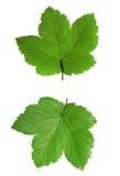 Hoja de arce verde aislada en blanco Foto de archivo libre de regalías