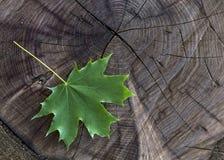 Hoja de arce verde fresca en la acción de madera Imagen de archivo